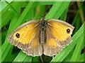 SJ3731 : Gatekeeper butterfly by Penny Mayes