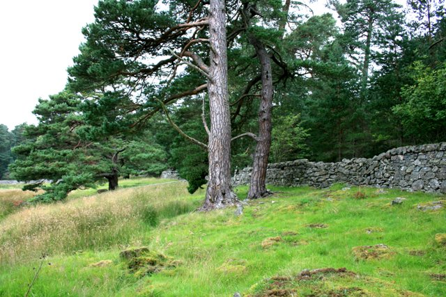 Mature Scots Pine and Wall, Heathfield