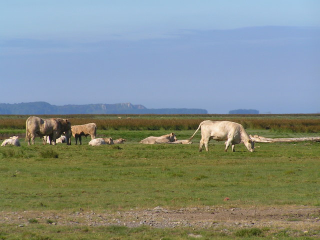 Cattle grazing on Afon Llwchwr Estuary near Gowerton