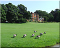 SJ8458 : Canada Geese by the Macclesfield Canal at Ramsdell Hall by Roger  Kidd