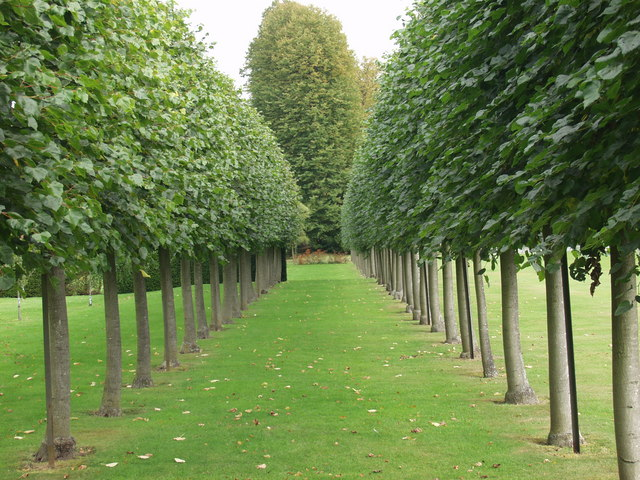 Amazing Espalier Trained Plane Trees In Erddig John Haynes