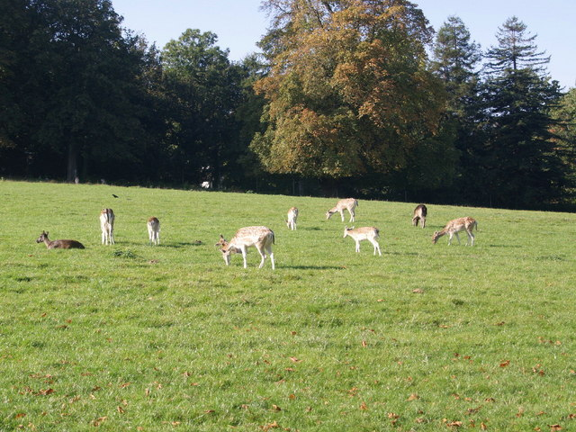 Fallow Deer - South Weald