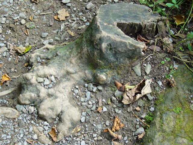 Elephant's Foot tree stump.