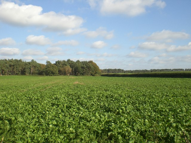 West across beet from track south from Grimston Carr