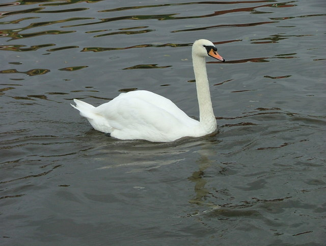 A swan on the Trent & Mersey Canal - Shardlow