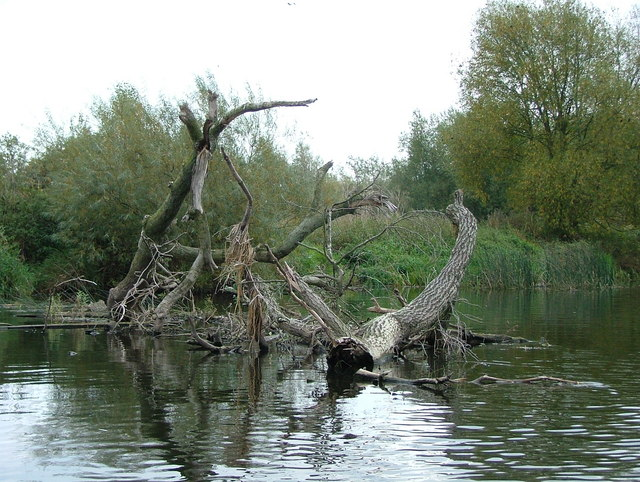 Fallen trees in the River Derwent