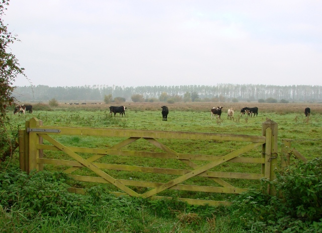Cattle on Hilgay Fen