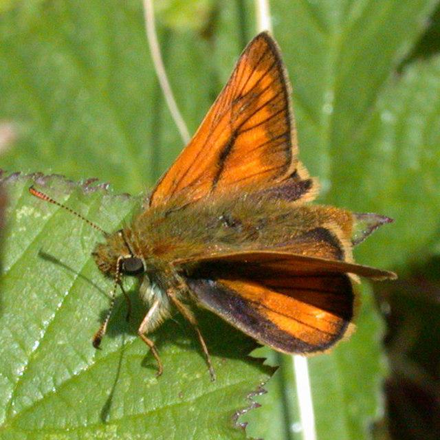 Large skipper butterfly (Ochlodes venata )
