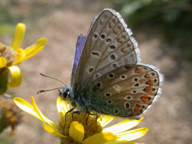Common Blue butterfly (Polyommatus icarus )
