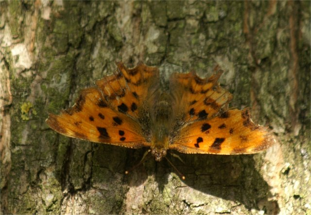 Comma (Polygonia c-album), Melling