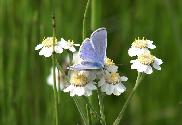 Common Blue (Polyommatus icarus) on Sneezewort (Achillea ptarmica), Aberlady