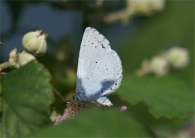 Holly Blue (Celastrina argiolus) on bramble (Rubus sp.), Great Orme