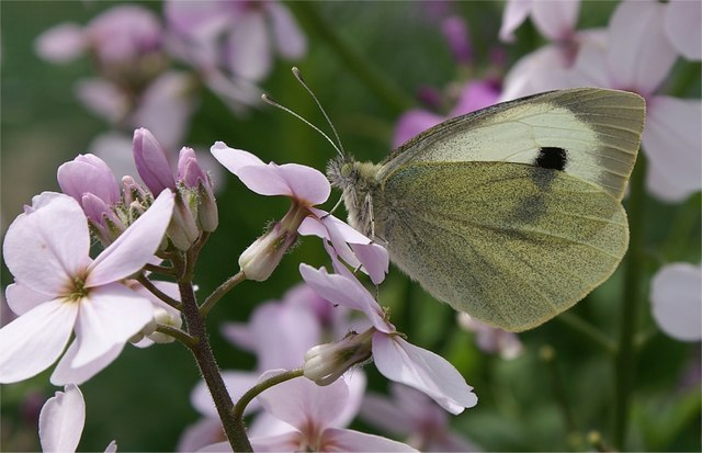 Large White (Pieris brassicae) on Sweet Rocket (Hesperis matronalis), Baltasound