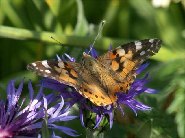 Painted Lady (Cynthia cardui) on garden knapweed, Baltasound