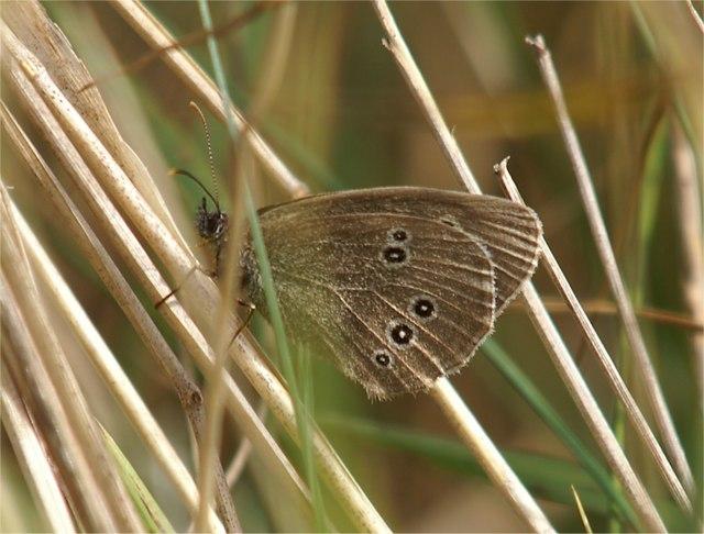 Ringlet (Aphantopus hyperantus), Aberlady