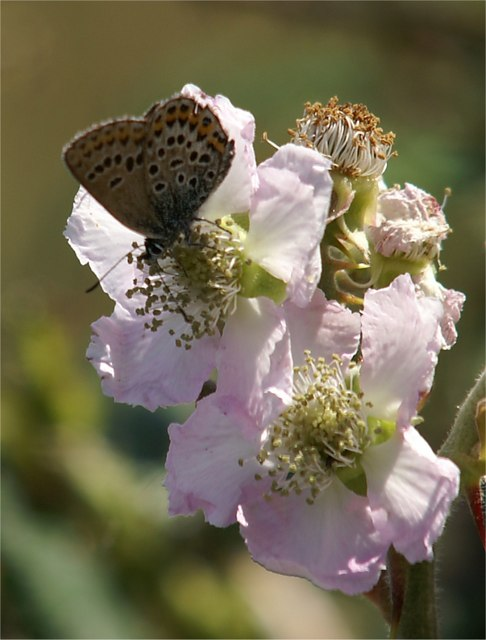 Silver-studded Blue (Plebeius argus) on bramble (Rubus sp.), Great Orme