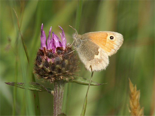 Small Heath (Coenonympha pamphilus) on Common Knapweed (Centaurea nigra), Aberlady