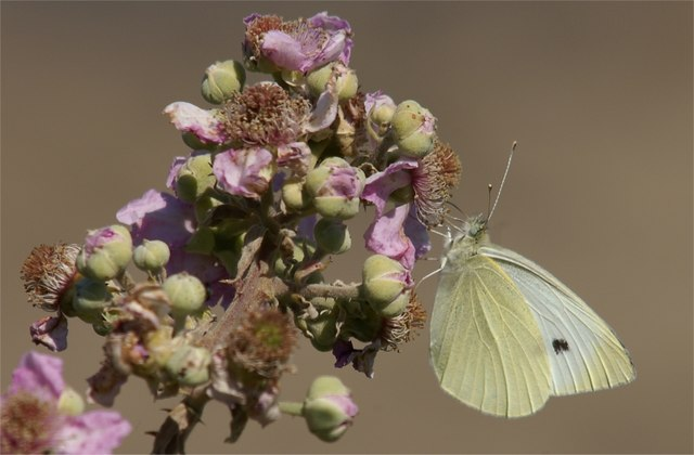 Small White (Pieris rapae) on bramble (Rubus sp.), Great Orme