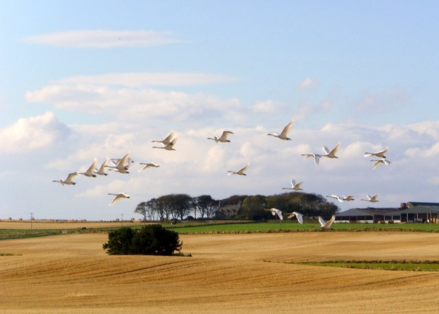 Whooper swans, Tarbat peninsula