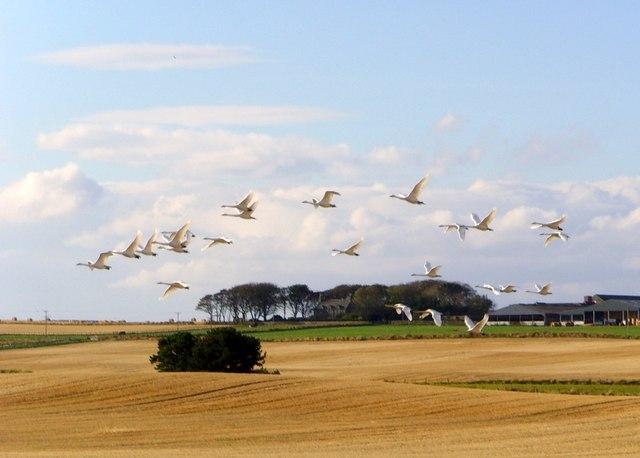 Whooper swans, Tarbat peninsula