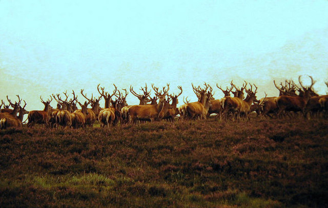 Red deer in the hills