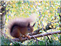 NH8707 : Red squirrel at Jack Drakes Nursery, Inshriach by sylvia duckworth