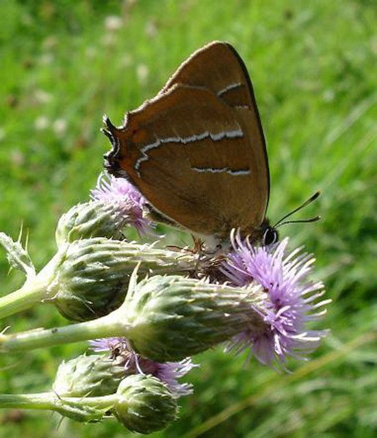 Brown Hairstreak Butterfly RSPB Pulborough West Sussex