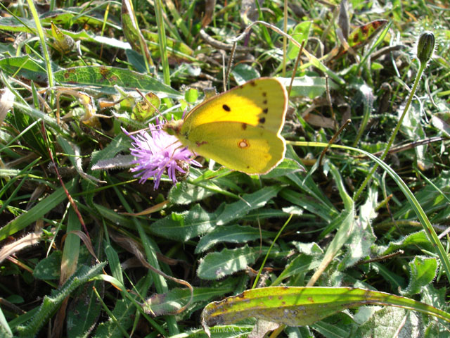 Clouded Yellow Butterfly Seaford Head East Sussex
