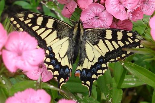Swallowtail Butterfly RSPB Strumpshaw Fen Norfolk