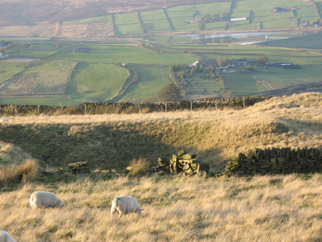 Moorland sheep on former quarry
