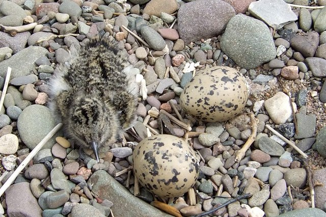 Oyster Catcher's chick and 2 eggs on the beach near Burgh by Sands