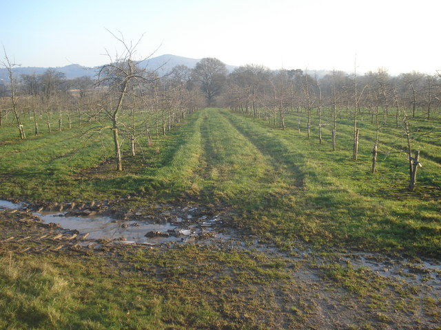Apple orchards at Colwall