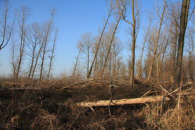 Windblown trees at Lakenheath Fen
