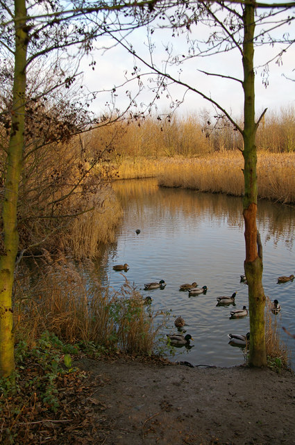 Reedbed with Ducks