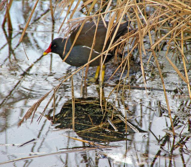 Moor-Hen in the Reedbed