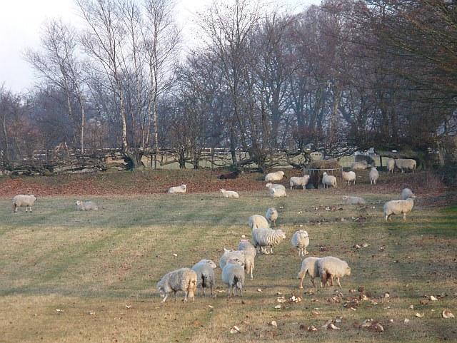 Sheep feeding near Manmoel