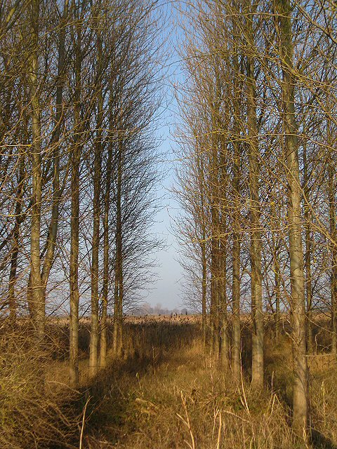 Stand of trees at New Fen