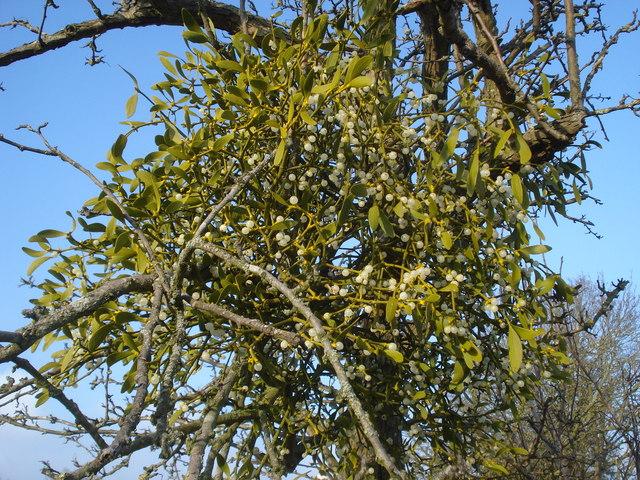 Mistletoe near Hanley Swan