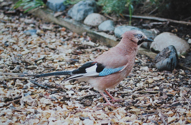 The only jay in the village?