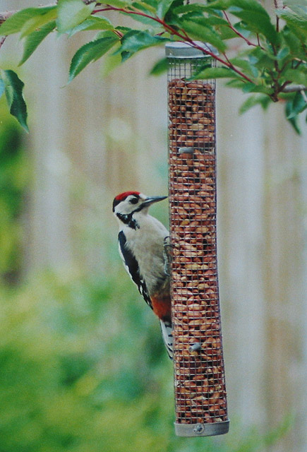 Great spotted woodpecker helps itself