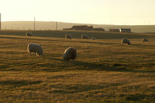 Sheep in winter sun, Baltasound