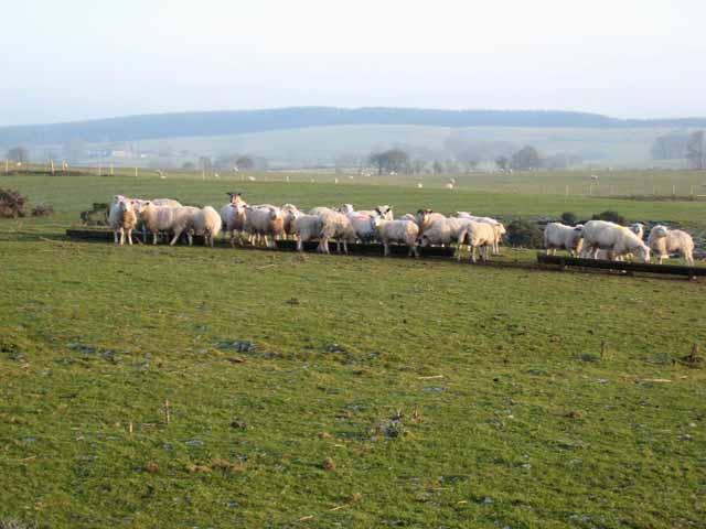 Sheep feeding near Palmer Hill