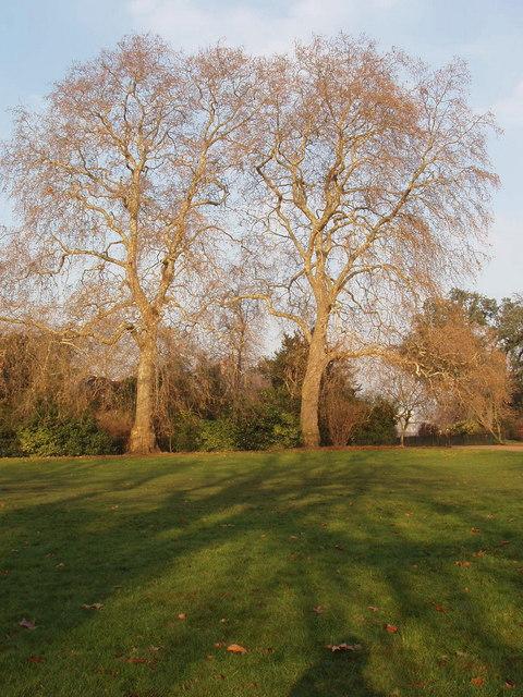 Plane trees In Kensington Gardens, leafless in winter