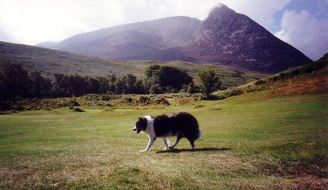 Collie crossing fairway on Corrie golf course