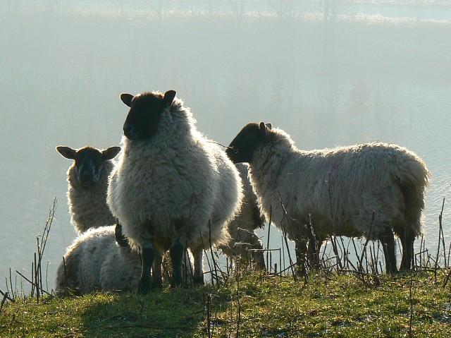 Sheep on Smeathe's Ridge, near Barbury