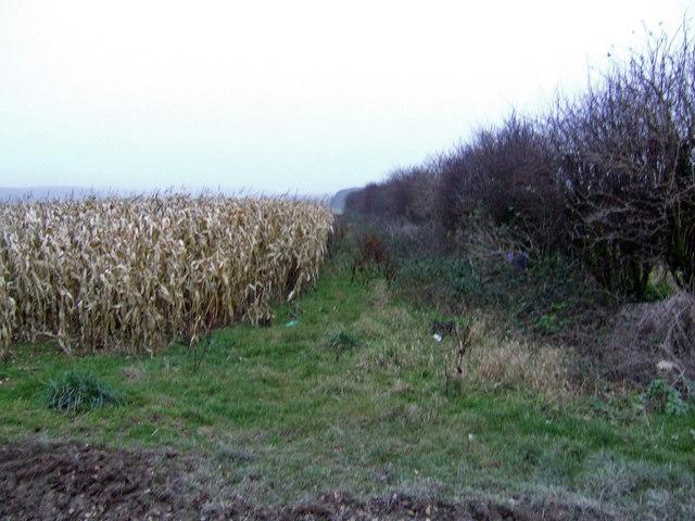 Strip of maize