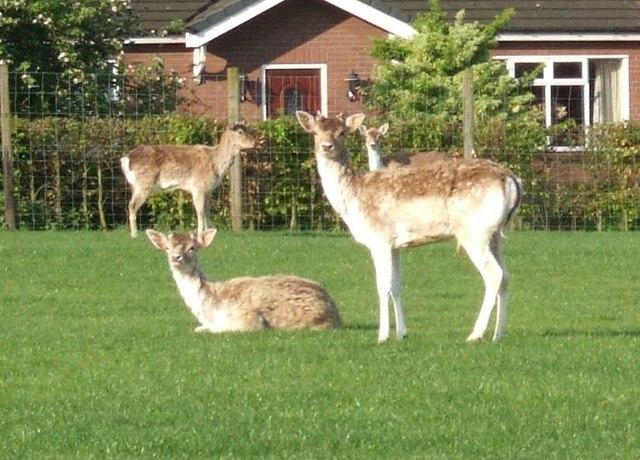 Deer in field at Blindmans Lane/Asmall Lane Junction
