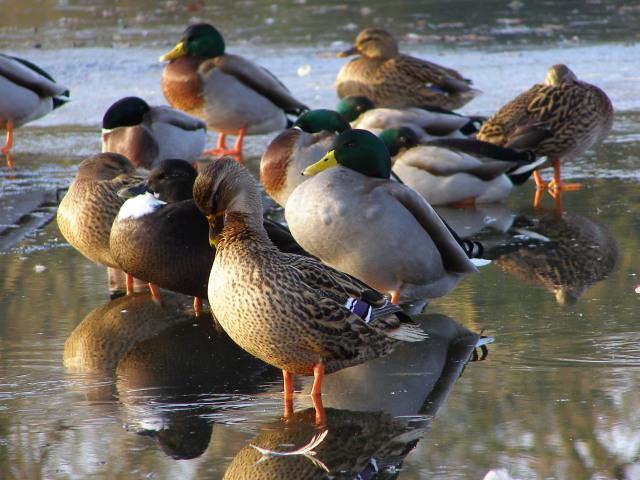 Ducks on ice, Cemetery Lake, Southampton Common