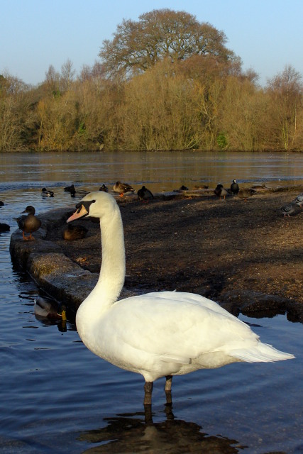 Swan by Cemetery Lake, Southampton Common