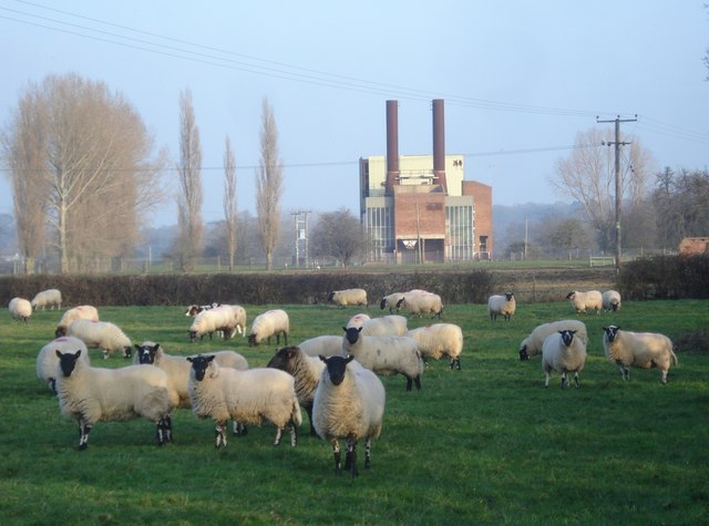 Sheep grazing near the Hayler's End Incinerator
